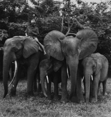 George Rodger: African Elephants