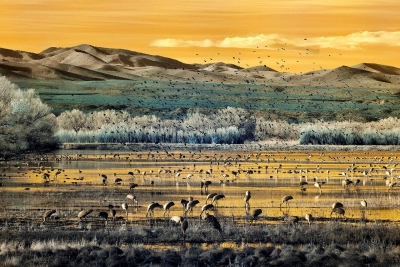 Russell Hart: Cranes Feeding, the Bosque