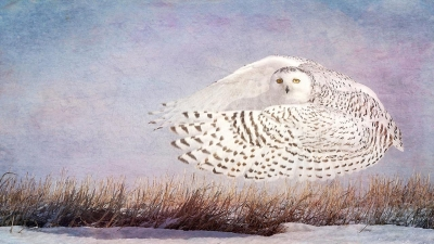 Wendi Schneider: Snowy Owl Hover, States of Grace: Fauna