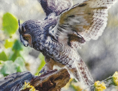 Wendi Schneider: Long-Eared Owl