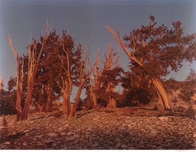 Cole Weston: Bristlecone Pine Forest