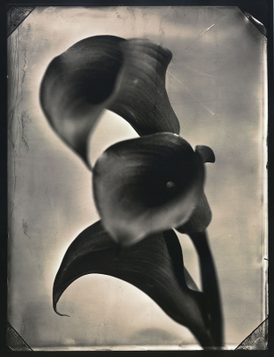 Tom Baril: Three Calla Lilies