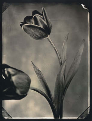 Tom Baril: Two Tulips