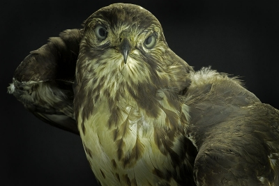 Bruce Katsiff: Rough-Legged Hawk (Buteo Lagopus)