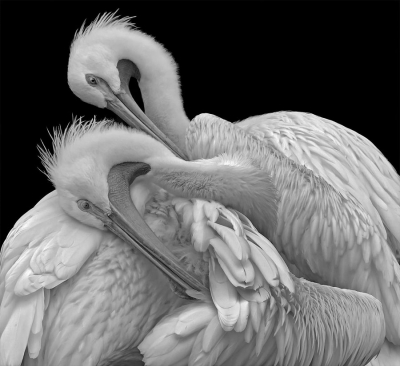 Paula Rucket: Two Pelicans