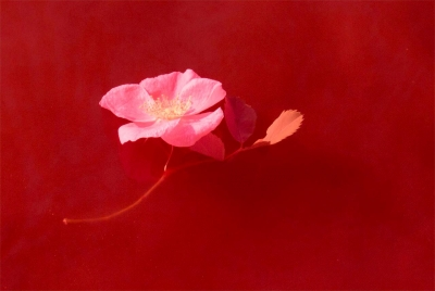 "Andy Schmitt: Floating Rose, from the series ""In Another Light"""