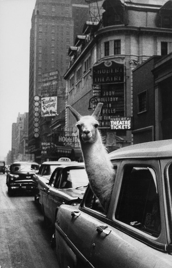 Inge Morath: Linda, the Llama, in Times Square, New York City, NY, 1957
