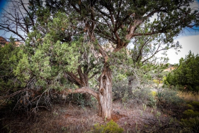 Wendy Bodner: Juniper